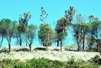 İnşaat firması çevrecilerden korkup kuruyan ağaçları yeşile boyadı