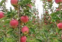 Konya Ereğli'de icradan satılık elma bahçesi